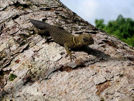 800px-uracentron_flaviceps_-_thorntail_iguana_5_medium