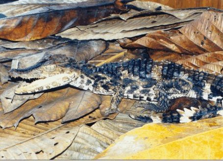 Paleosuchus-trigonatus_medium