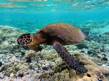 800px-green_turtle_swimming_over_coral_reefs_in_kona_medium