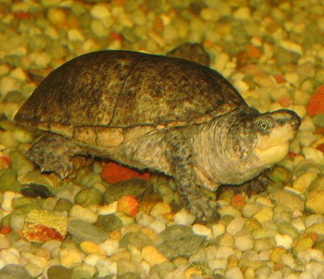 695px-common_musk_turtle_medium