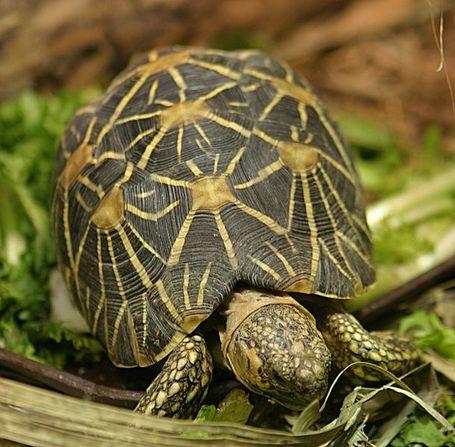 610px-indian_star_tortoise_medium