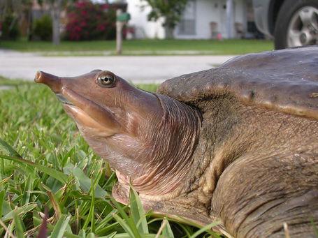 Eastern_spiny_softshell_turtle_medium