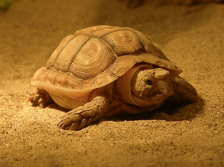 800px-beaked_cape_tortoise_medium