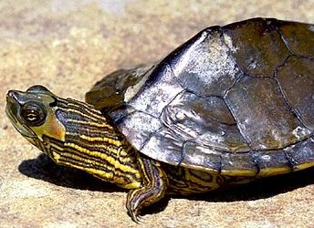 Alabama_map_turtle_medium