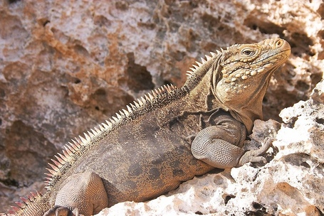 800px-iguana_at_the_iguanas_island_near_cayo_largo_shot_01_medium
