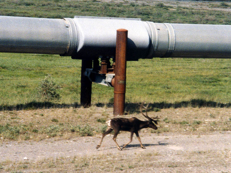 Alaska_pipeline_and_caribou_medium