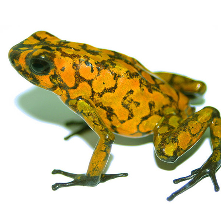 600px-dendrobates_sylvaticus_plos_medium