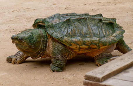 800px-alligator_snapping_turtle_-_geierschildkröte_-_alligatorschildkröte_-_macrochelys_temminckii_01_medium