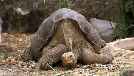 800px-lonesome_george_-pinta_giant_tortoise_-santa_cruz_medium