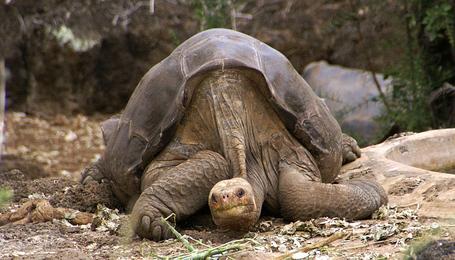 800px-lonesome_george_-pinta_giant_tortoise_-santa_cruz_medium