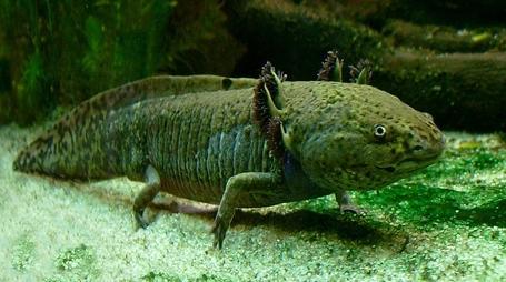 800px-axolotl_ganz_medium