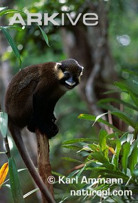 Moustached-guenon_medium