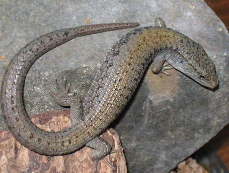 791px-northern_alligator_lizard_medium