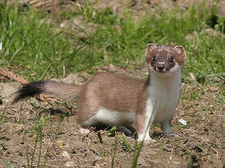 Stoat02_medium
