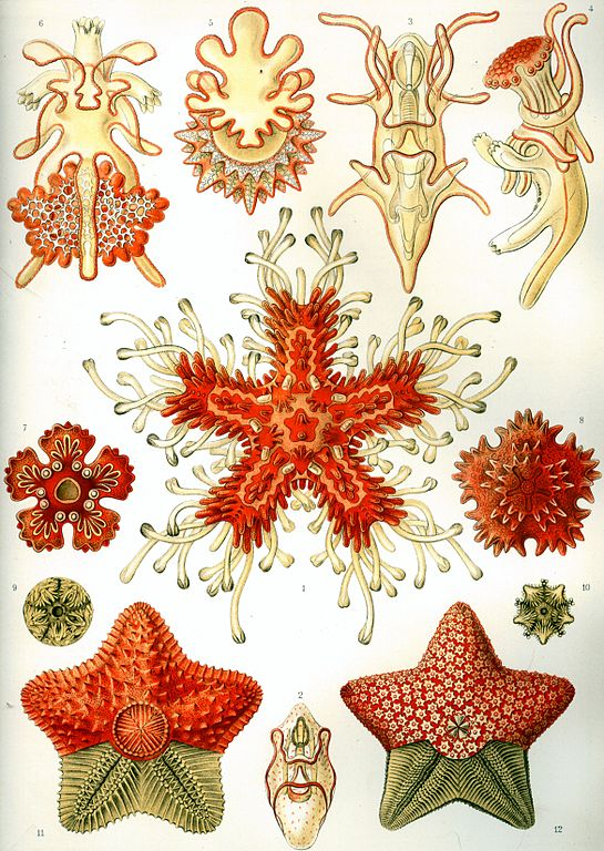 Naturalhistories_haeckel2
