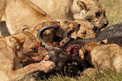 Cats_buffalo_medium