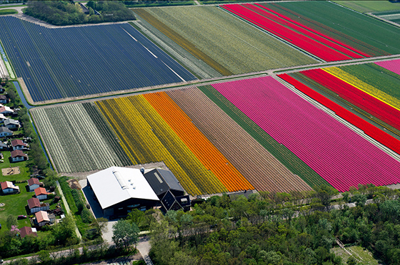 tulips_560 - Fields Of Color