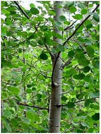 Aspen_tree_medium