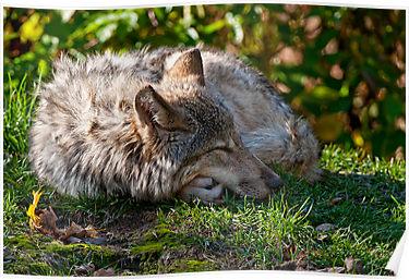 Wolf_medium
