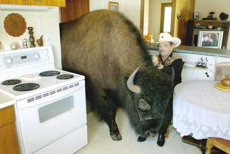 Buffalo1_medium