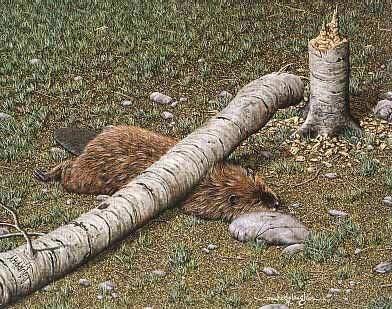 Dead_beaver_medium