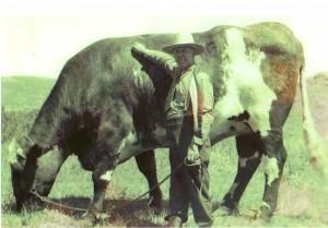 Steer-300x209_medium