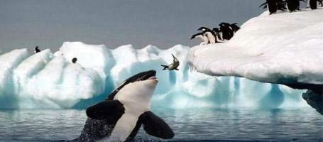 Orca_eating_penguins_medium