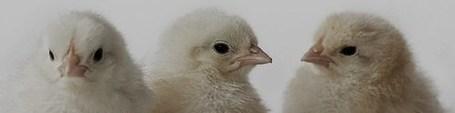Chicks_medium
