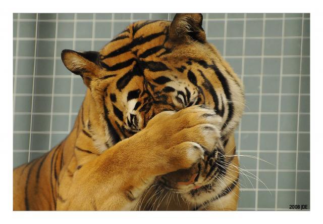 Как на сделать голову тигра на