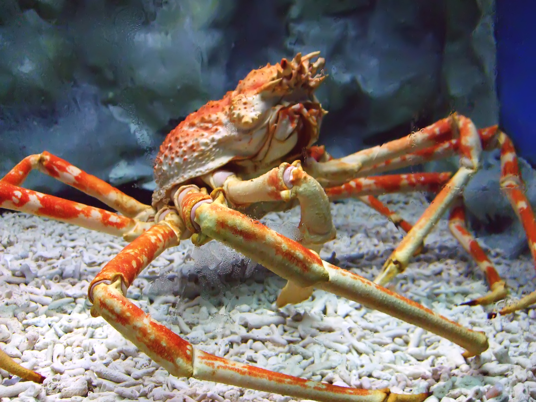 Spider_crab_at_manila_ocean_park