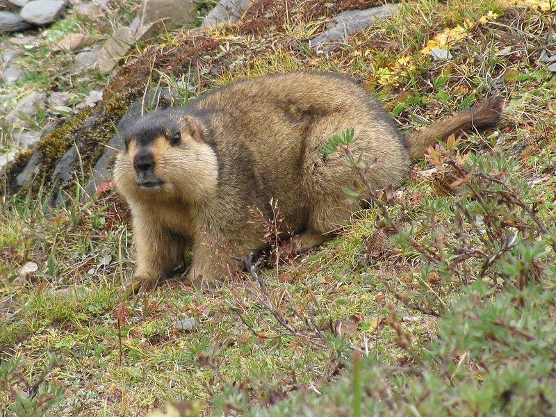 Marmot_medium