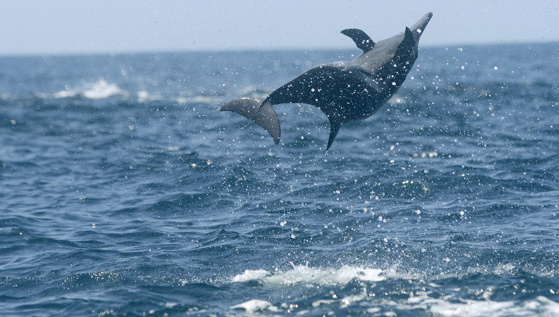 Dolphin07_medium