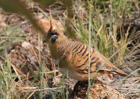 Spinifex-pigeon-desert_medium
