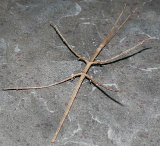 Stick-bug_medium