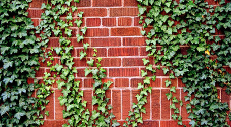 Ivy-wall_medium