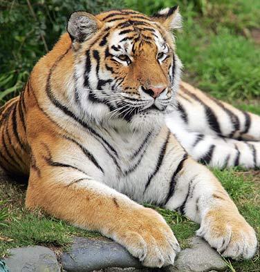 Tiger_medium