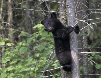 Bearcub_medium