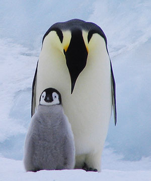 Art_penguins_emperor_and_chick_medium