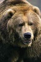 Bear_medium