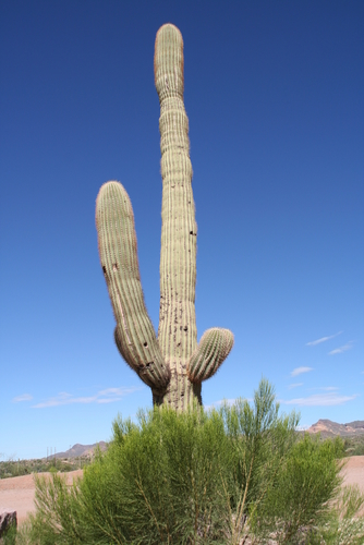 Giant-cactus-in-texas-desert-tx365_medium