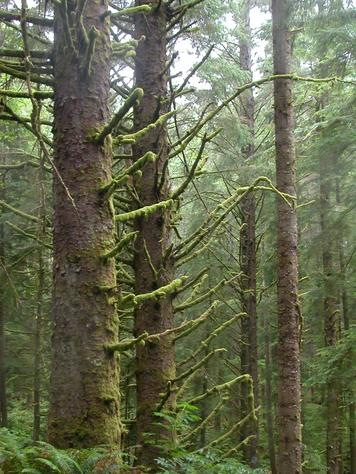 P292589-oregon-mossy_trees_in_oregon_forest_medium