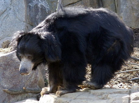800px-sloth_bear_washington_dc_medium