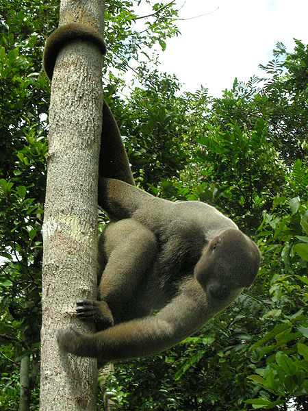 450px-brown_woolly_monkey_medium