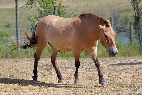 800px-przewalski_s_horse_at_the_wilds_medium