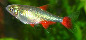Sutter_bloodfin-tetra_medium