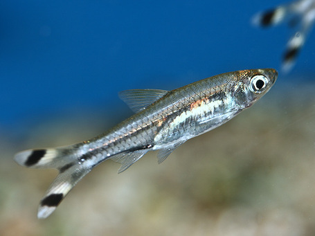 Scissortail_rasbora_medium