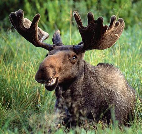 Moose_medium