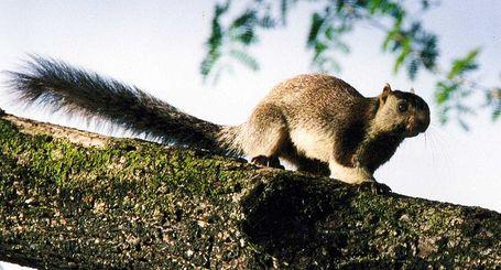 800px-giant-squirrel_medium