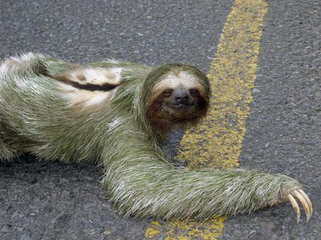 Sloth_medium