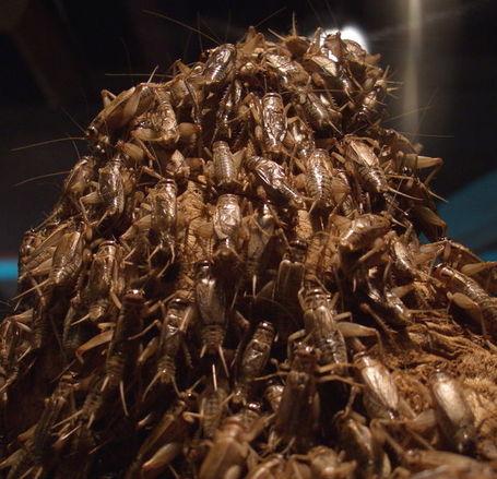 Crickets_medium
